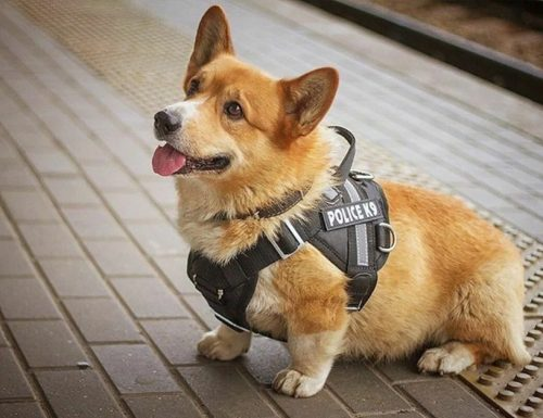 L'unico cane-poliziotto razza Corgi va in meritata pensione